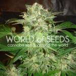 Mazar Kush Feminized Seeds (World of Seeds)