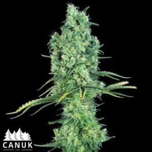 OG Kush Feminized Seeds (Canuk Seeds)