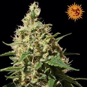 Peppermint Kush Feminized Seeds (Barney's Farm)