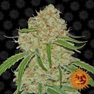 Phantom OG Feminized Seeds (Barney's Farm)