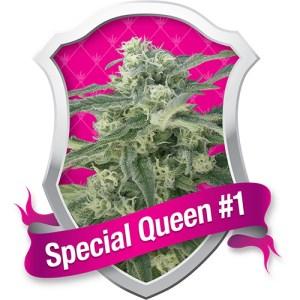 Special Queen 1 Feminized Seeds (Royal Queen Seeds)