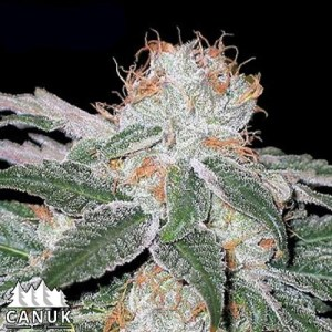 White Widow Regular Seeds (Canuk Seeds)