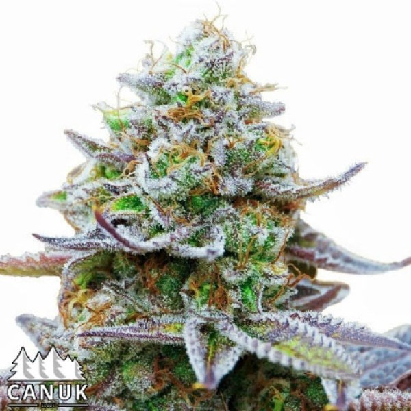 Zkittlez Glue Feminized Seeds (Canuk Seeds) - ELITE STRAIN