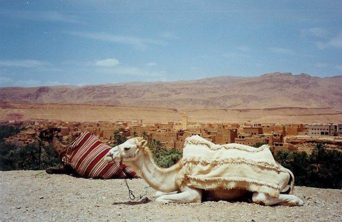 Dromadaire dans la vallée de Tineghir