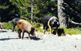 corsica-2000-07-cochons-corses-02