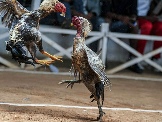Indian Man Killed By Own Cock In Freak Accident