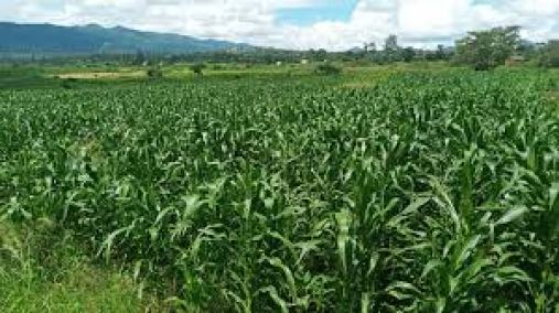 80-Year-old Granny Raped While Harvesting Maize In Her Field