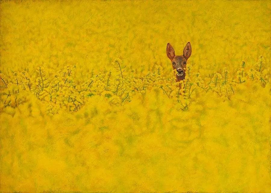 Roe Deer in Rapeseed