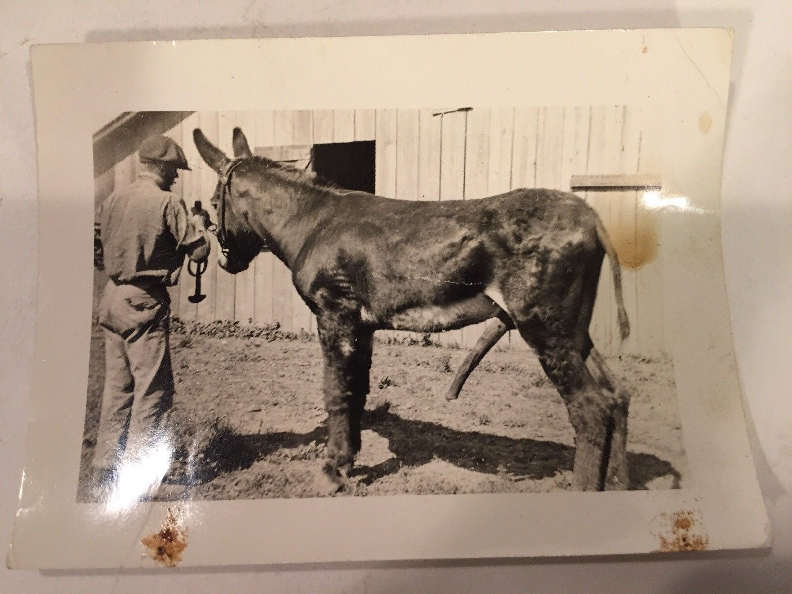 1930S Real Photo Stud Horse With A Very Long Penis Proudly Showing Off 375X275 -4680