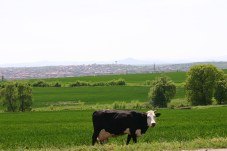 curious cattle in a sea of super-green fields