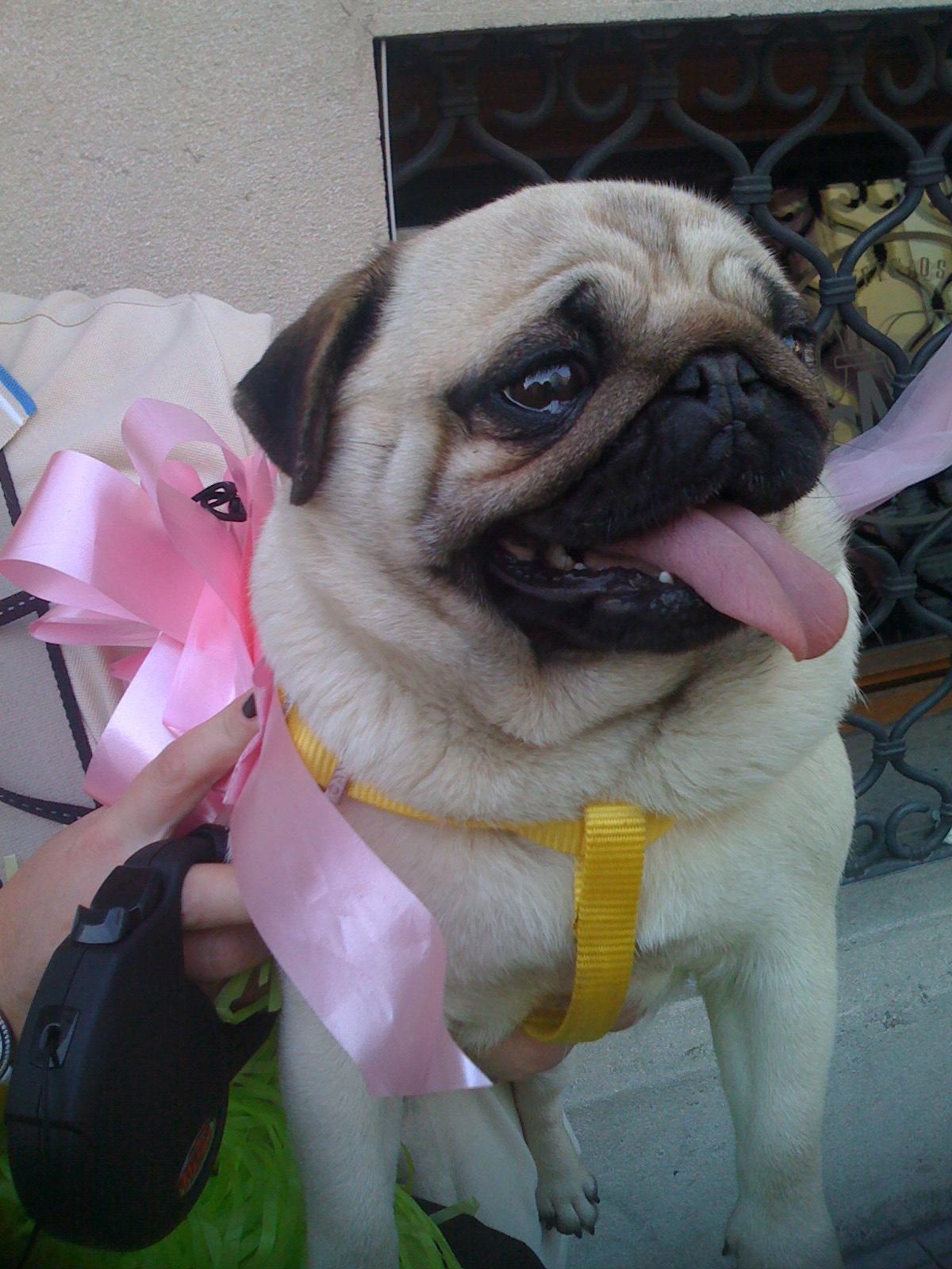 Cute Giro fan in Valdobbiadene