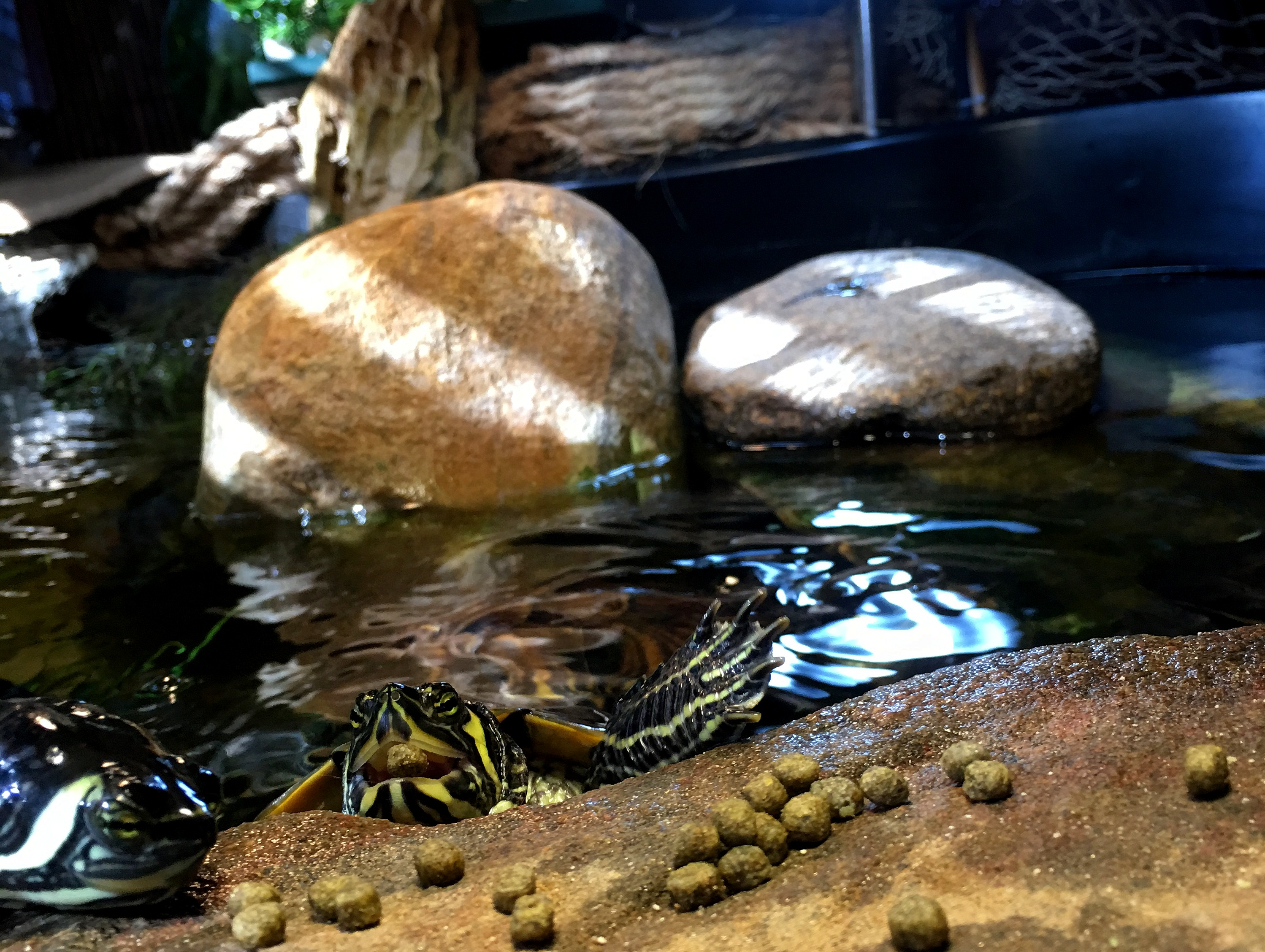 YBST ~ Yellow Bellied Slider Turtles–Quarterly Update [Feeding Frenzy], 10/26