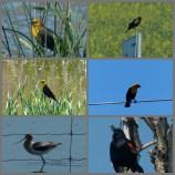 Vögel der Prairie