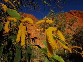 Yellow acacia flowers against the blue of the sky and the red of the rocks