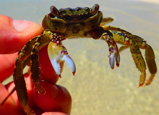 Green crab out-cooling me
