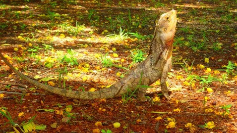 There be Dragons in Australia. This be one of the them: beautifully posed 60 cm frilled-neck dragon