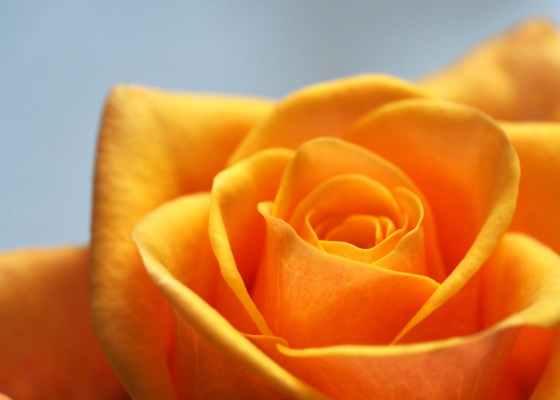 close up photo of yellow orange rose