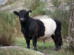 Petite vache Callara miniature Belted Galloways