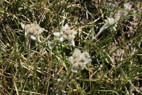 Edelweiss, ou pas