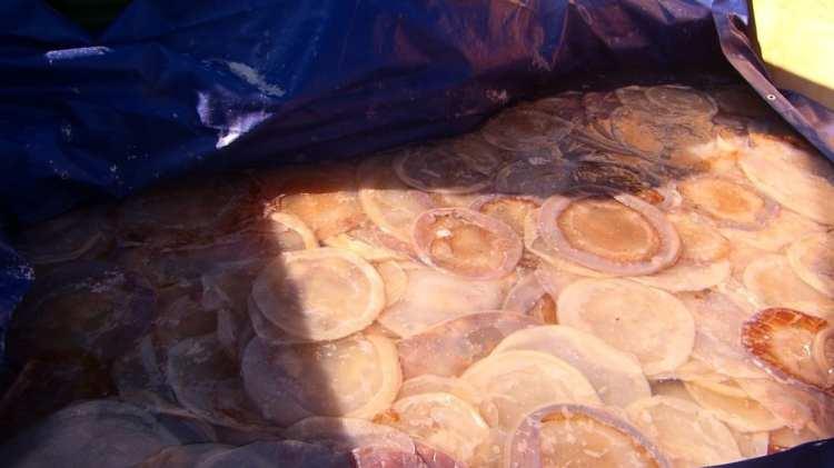 dry jellyfish