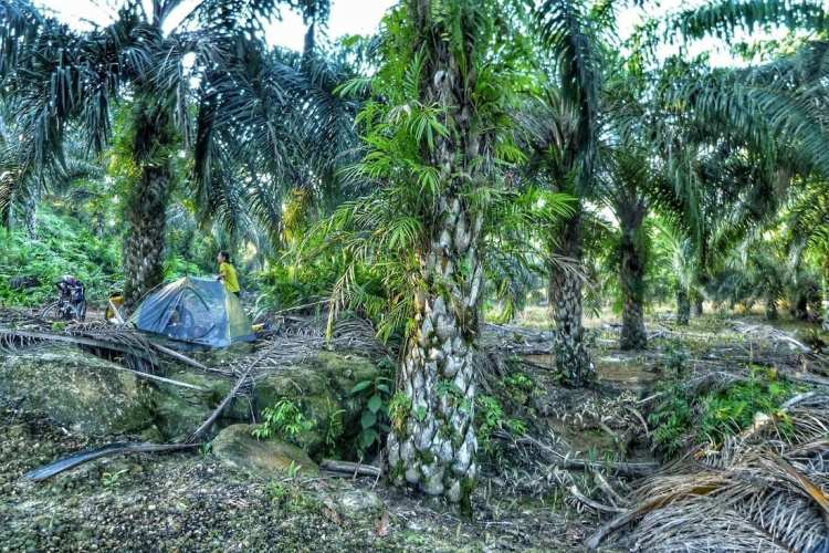 free camping in a oil palm plantation Borneo