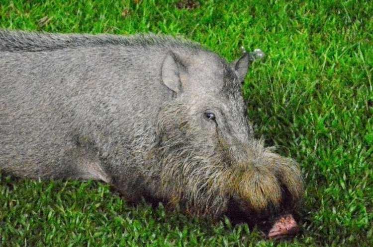 bearded wild pig of Bako National Park, Kuching