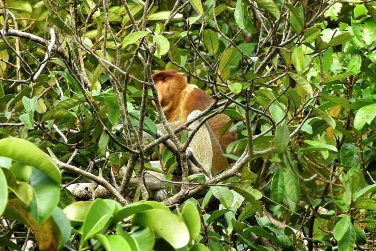 borneo scimmia nasica