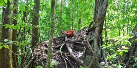 how to find a rafflesia malaysia borneo