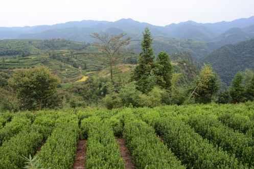 più belle terrazze di té Cina
