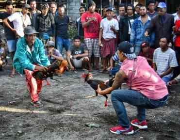 combattimento di galli a Bali