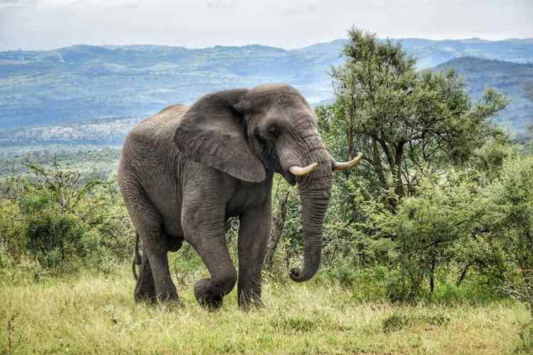 elefante sud africa