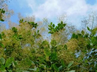 2. Smoke Tree