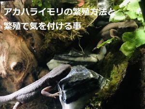 アカハライモリの繁殖方法と繁殖で気を付ける事