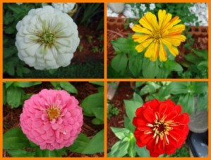 Old Fashion Zinnias