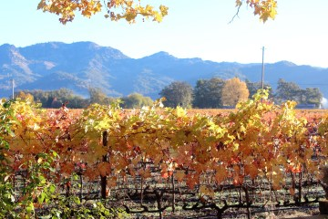 fall-vines-in-yountville-napa