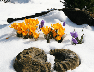 Crocus blooming in the snow.