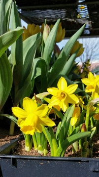 These are mini daffodils, notice their size next to the tulips