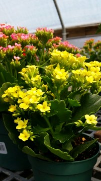 These kalanchoe are tropical succulents, not something you'd see outside around here, but they were at the garden center and they made me smile.