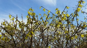 Some early forsythia flowers
