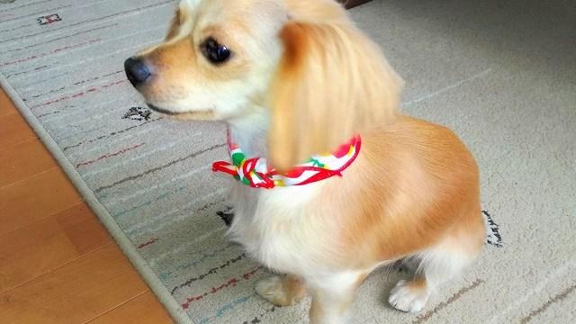 床屋さんに行ってきれいになった犬、グミ。