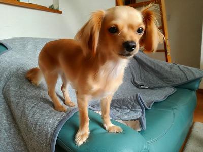 超小型犬のチワックス、グミ