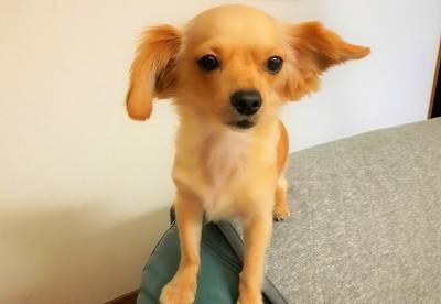 ソファーの背に座る超小型犬グミ