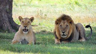 ライオンの夫婦