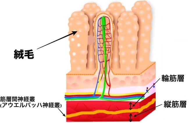 小腸位置図 絨毛