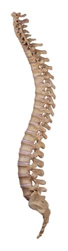骨盤 位置 図 脊柱