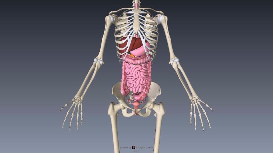 消化器系と子宮