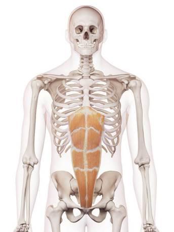 骨盤 位置 図 腹直筋