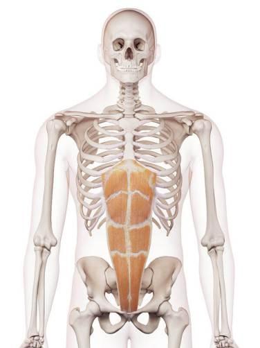 剣状突起腹直筋位置図