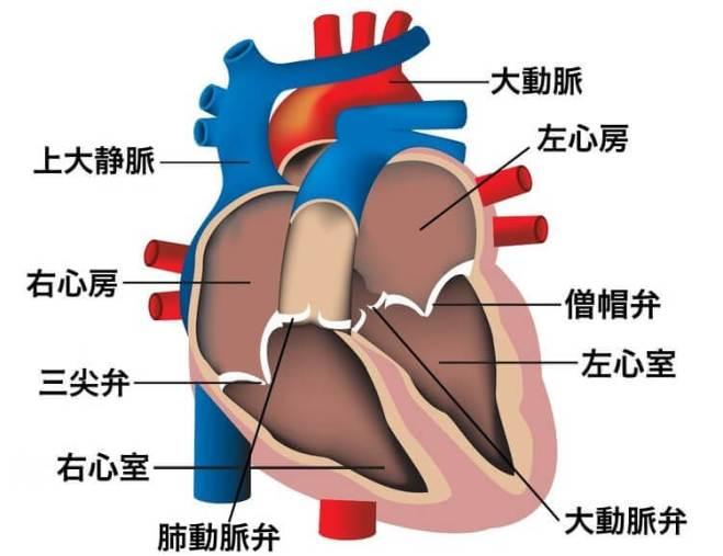 心臓 位置 図 場所 構造 働き