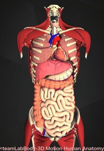 骨盤 位置 図 内臓支える
